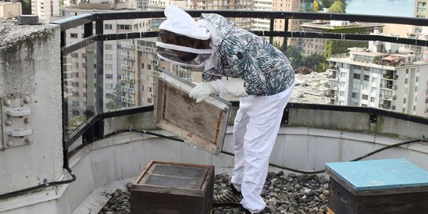 Hollyburn Bees at Emerald Terrace Apartments Downtown Vancouver, BC